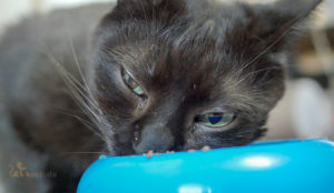 Kot jedzący mokrą karmę