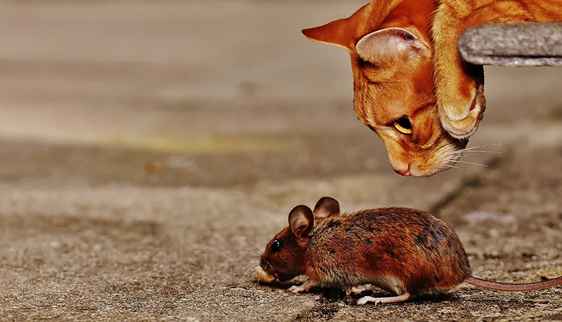 Kot polujący na mysz