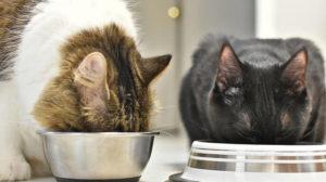 jak karmić kota