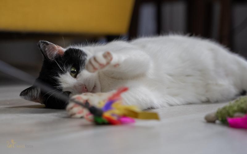 zabawa z kotem przed jedzeniem