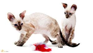 Kot krótkowłosy rasy Cornish Rex