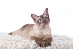 kot krótkowłosy