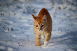 chodzący kot