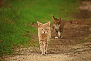 polujące dwa koty