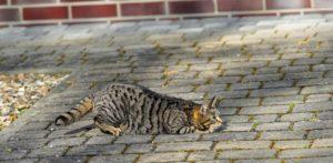 polujący kot