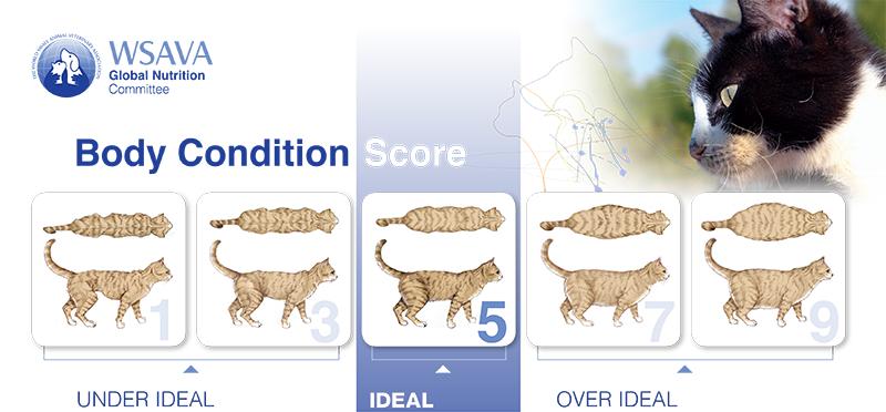 Etapy otyłości o kotów