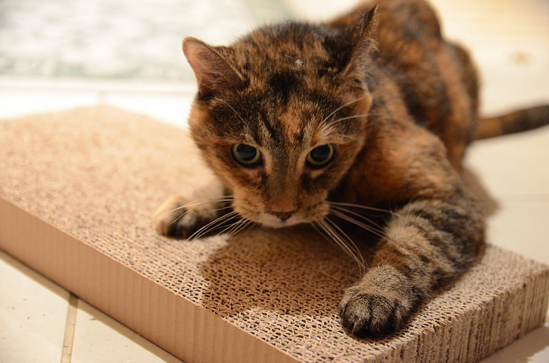 drapiący kot