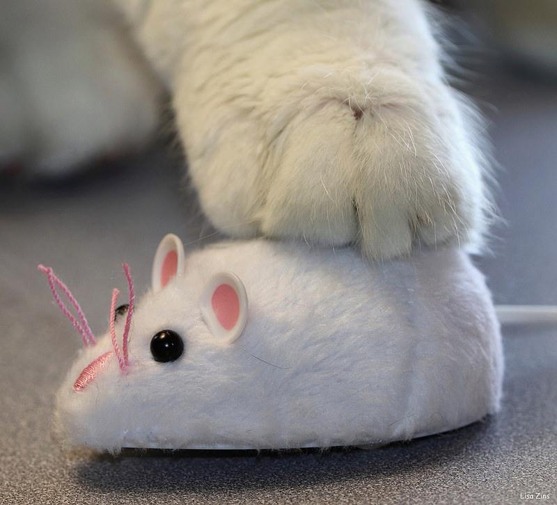 kot polujący na zabawkę